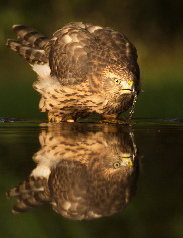 GROUP 1 20 GOSHAWK DRINKING AT WOODLAND POND by John Hunt