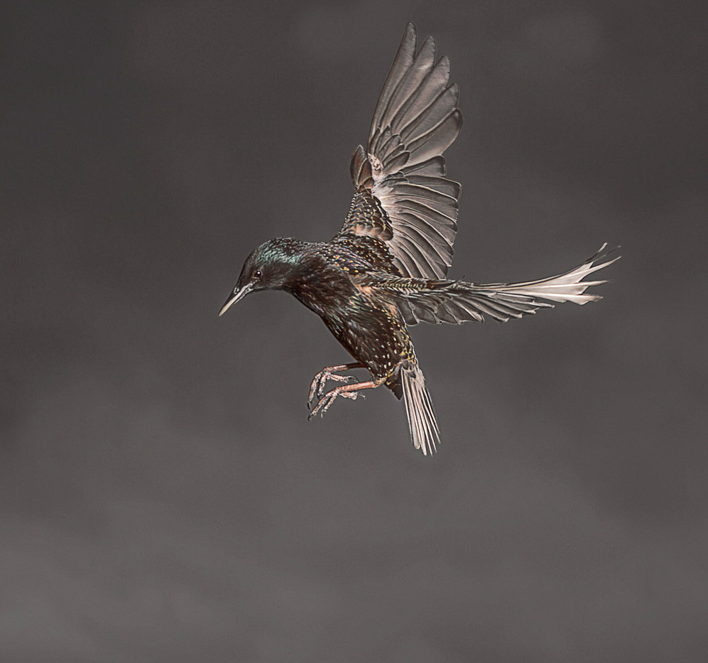 GROUP 1 18 STARLING ABOUT TO LAND by Tony Hill