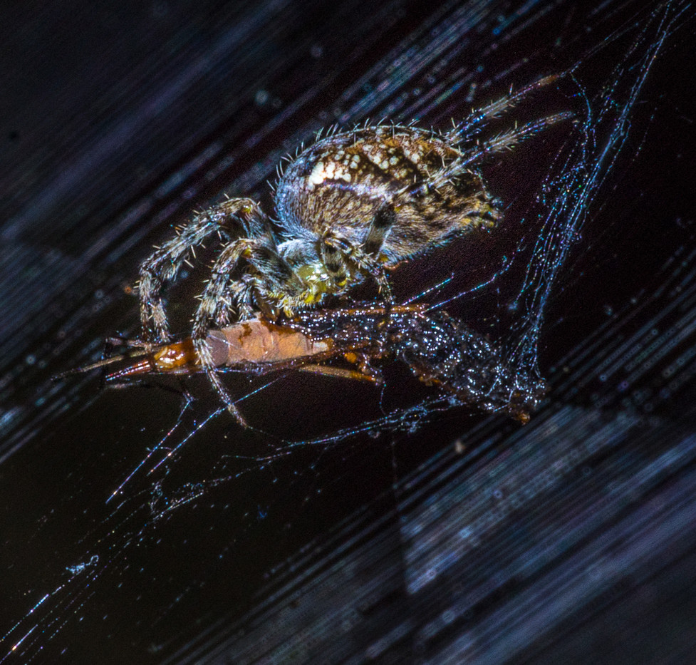 18 COMMON HOUSE SPIDER EATING A MOTH by Tony Hill
