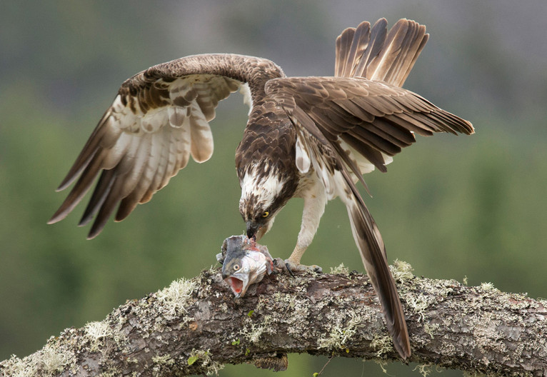 17 OSPREY WITH FINAL MOMENTS OF TROUT by John Hunt