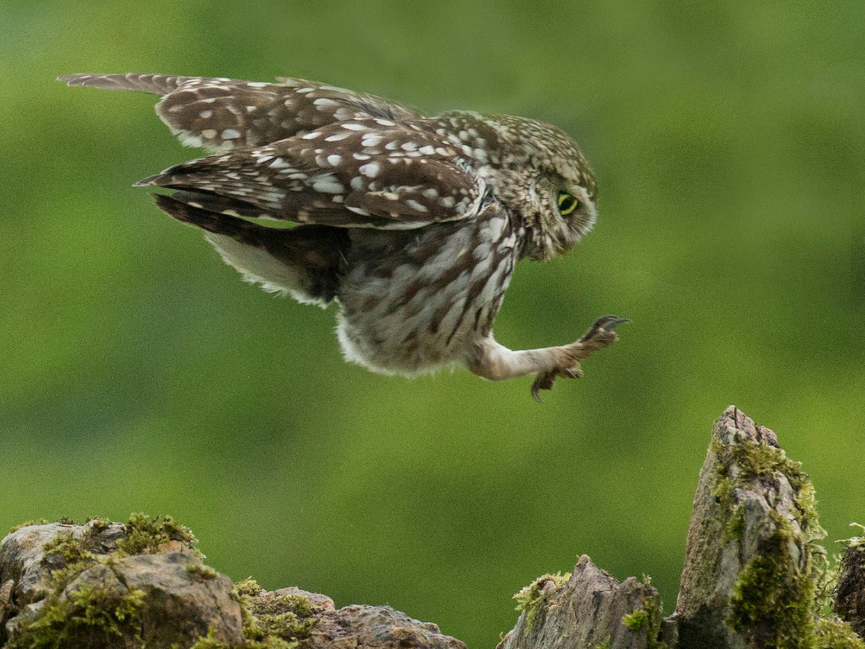 20 LITTLE OWL COMING HOME by John Hunt