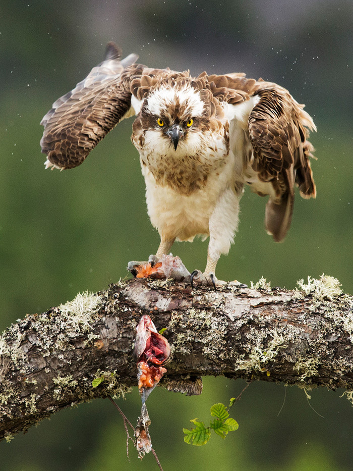 18 OSPREY  WITH REMAINS OF CATCH by John Hunt