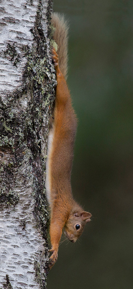 16 RED SQUIRREL AT FULL STRETCH by John Hunt