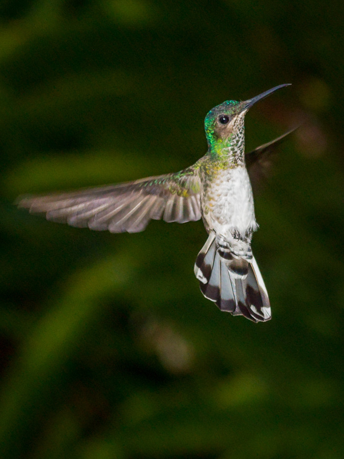 17 WHITE CRESTED EMERALD HUMMINGBIRD by David Godfrey