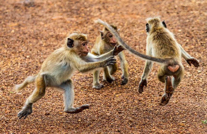 17 YOUNG TOQUE MACAQUES by Sue Pennicott