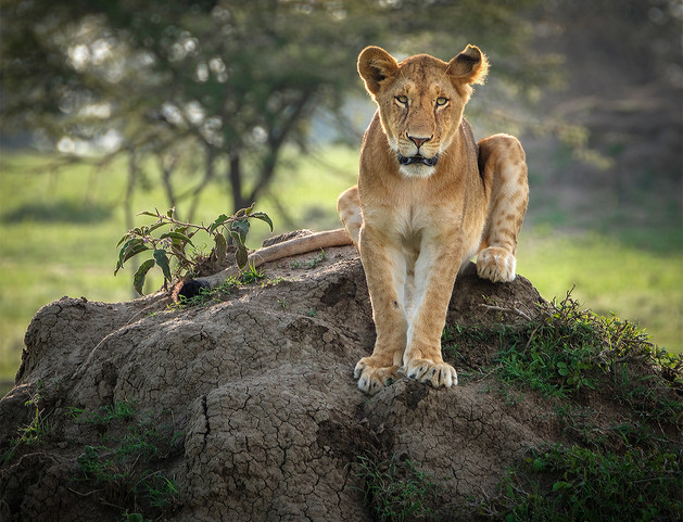LIONESS ON MOUND by Nicola Bolton