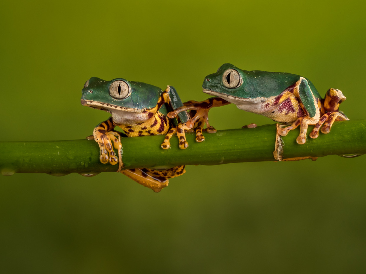 18 A SUPER TIGER LEG MONKEY TREE FROG IGNORING ANOTHER by David Godfrey