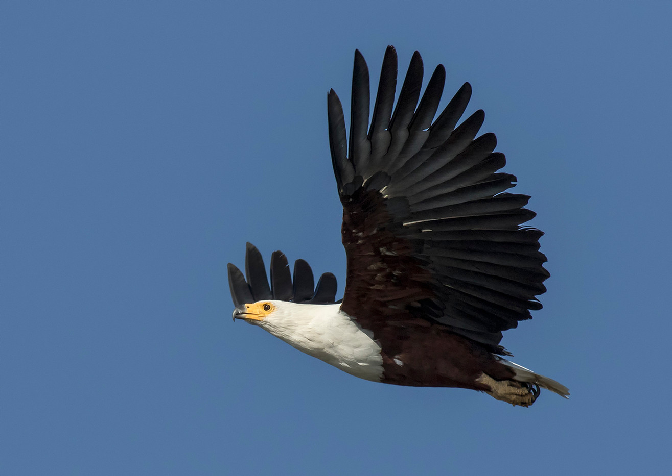 17 AFRICAN FISH EAGLE IN FLIGHT by Glenn Welch