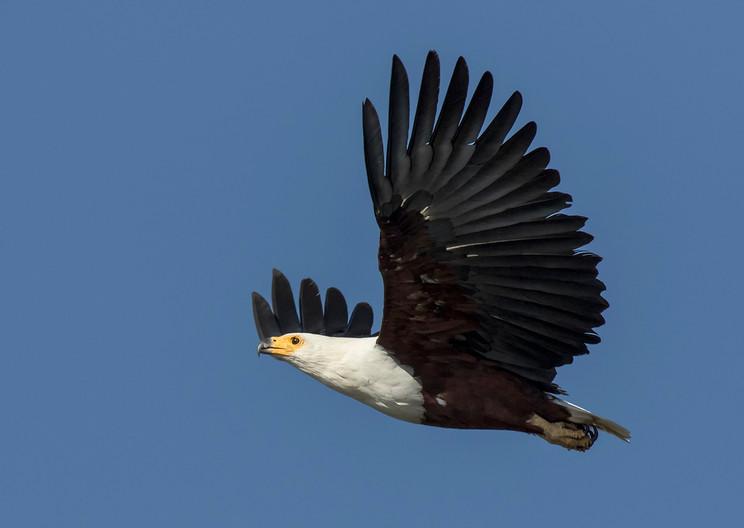 17 AFRICAN FISH EAGLE IN FLIGHT by Glenn Welch