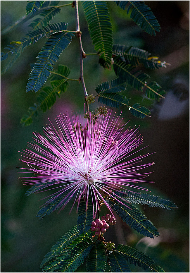 19 MIMOSA by Muffi Forbes