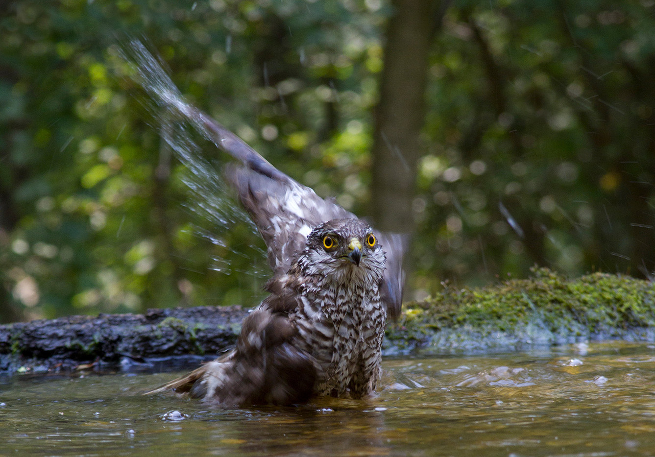 GROUP 1 19 SPARROWHAWK TAKING A BATH by John Hunt