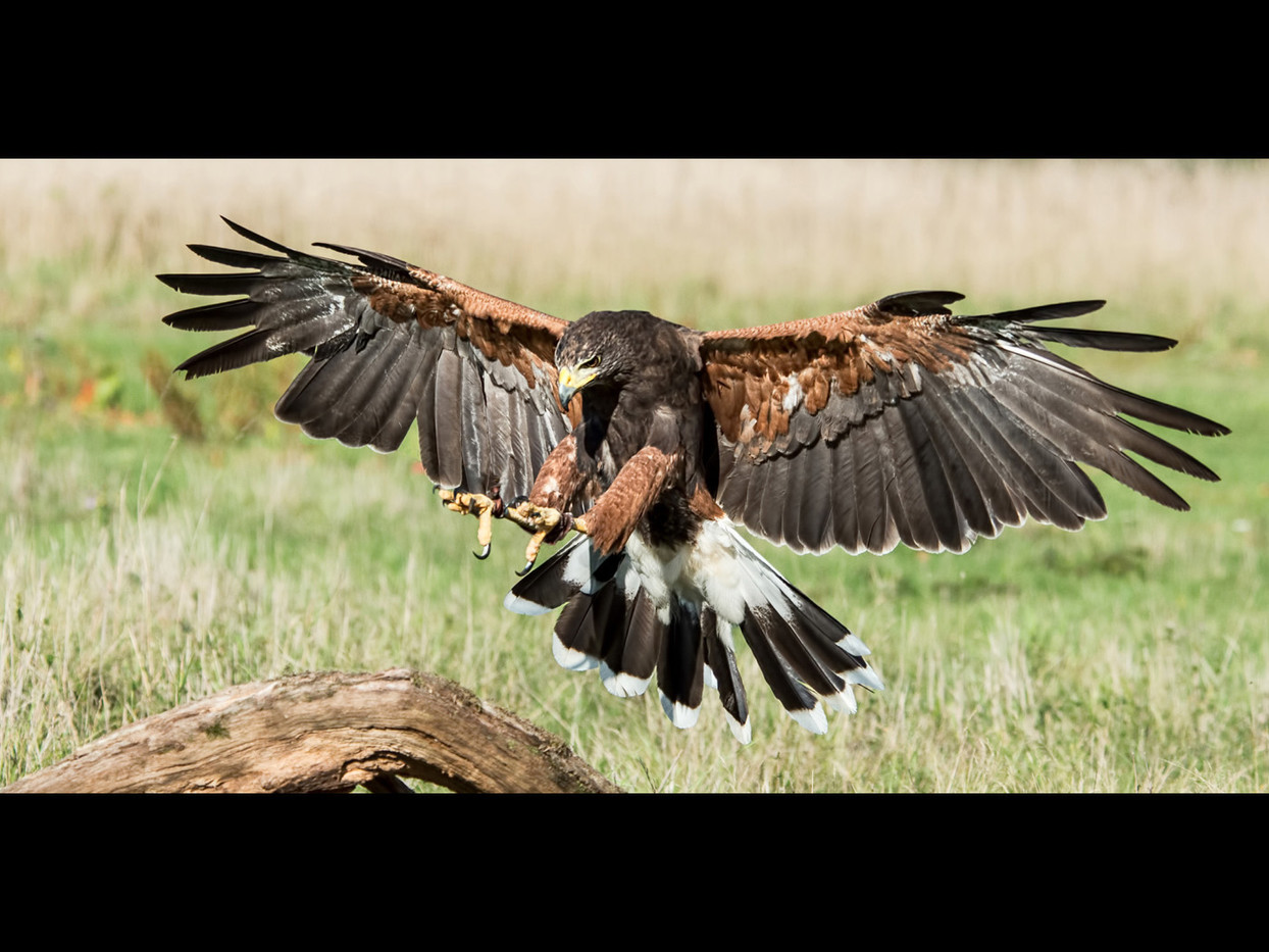 GROUP 1 18 HARRIS HAWK LANDING by Alan Cork
