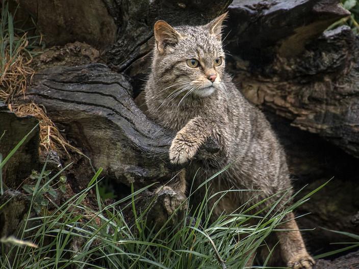 20 SCOTTISH WILD CAT by Pam Sherren