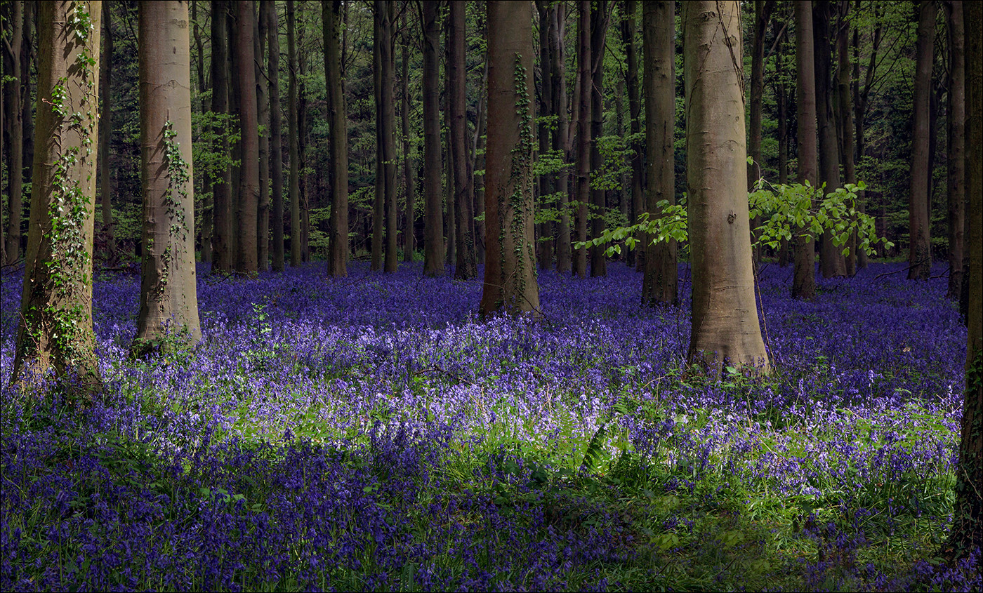 16 LIGHT THROUGH THE BLUEBELLS by Mike Hart