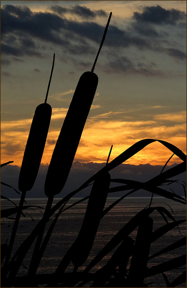16 BULLRUSHES by Les Welton