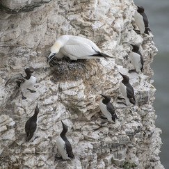 19 GANNET SURROUNDED by Alan Cork