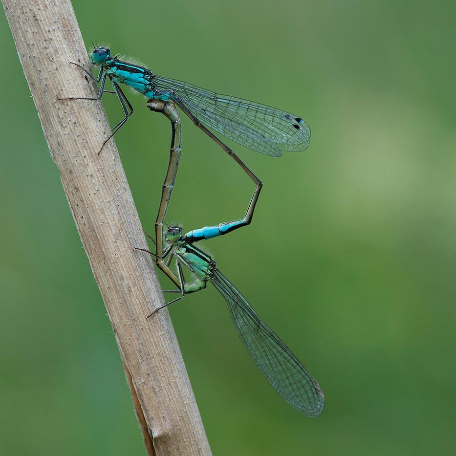 18 BLUE-TAILED DAMSELFLIES MATING by Alan Cork