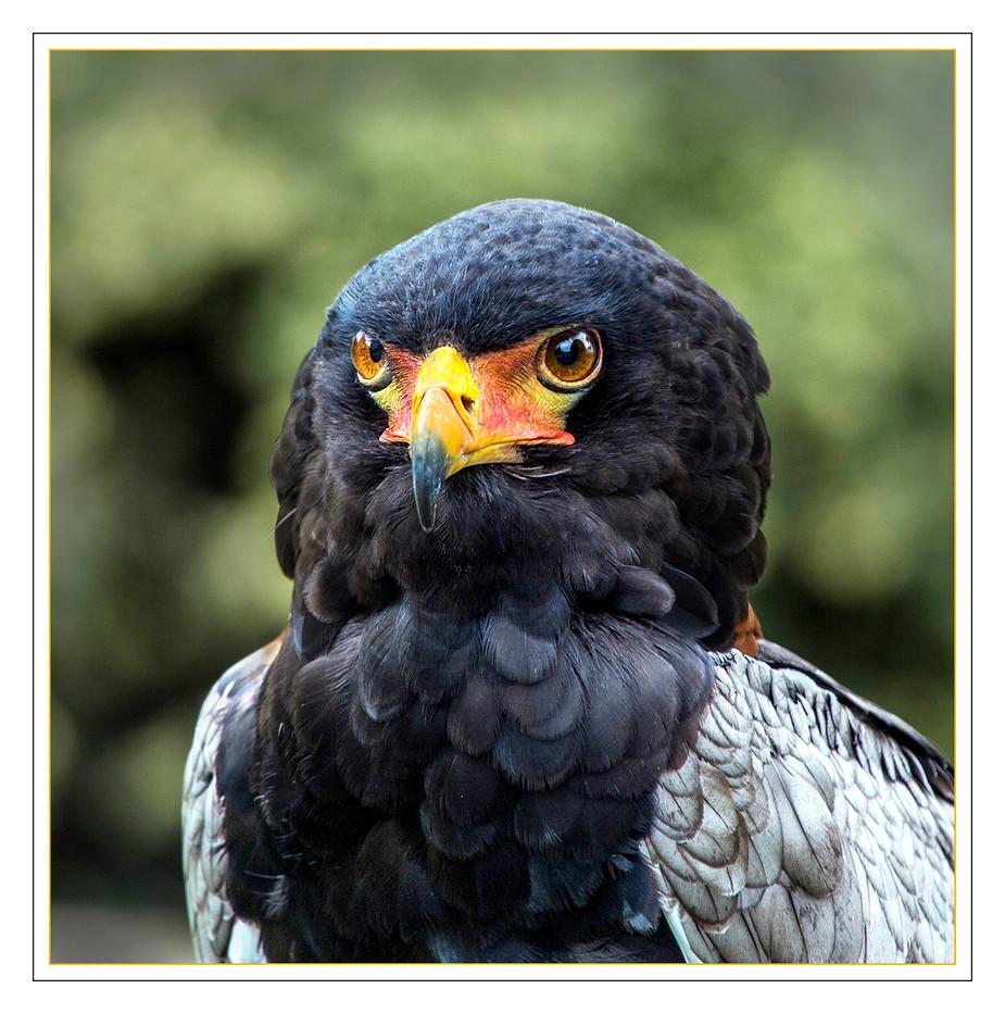 15 BATELEUR EAGLE by Mike Shave.