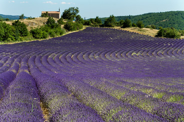 LAVENDER FIELD by Cathie Agates