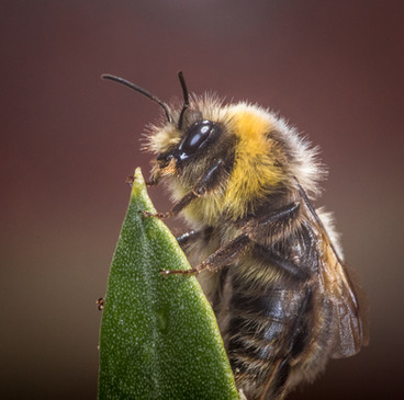 BUMBLE BEE ON OLIVE LEAF by Tony Hill