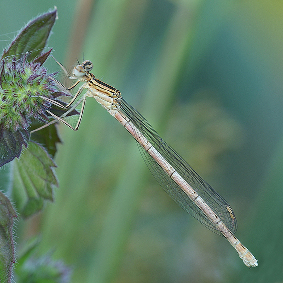 GROUP 1 17 IMMATURE WHITE LEGGED DAMSEL by Douglas Hands