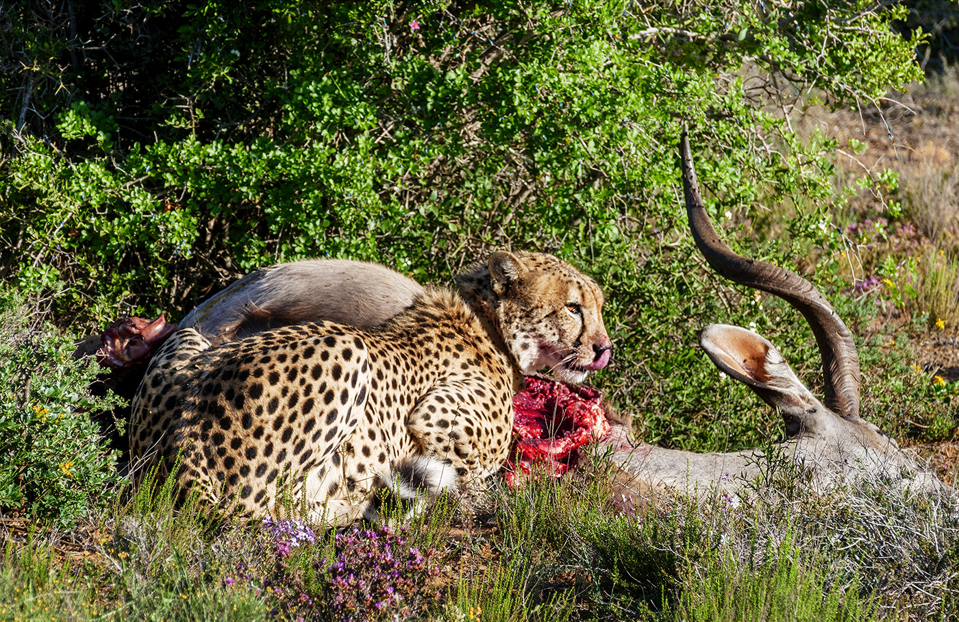 19 CHEETAH AT KUDU KILL by Peter Tulloch