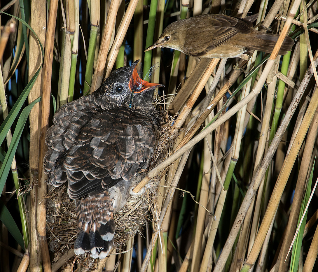 17 BABY CUCKOO WITH DRAGONFLY ON REED WARBLER NEST by Glenn Welch