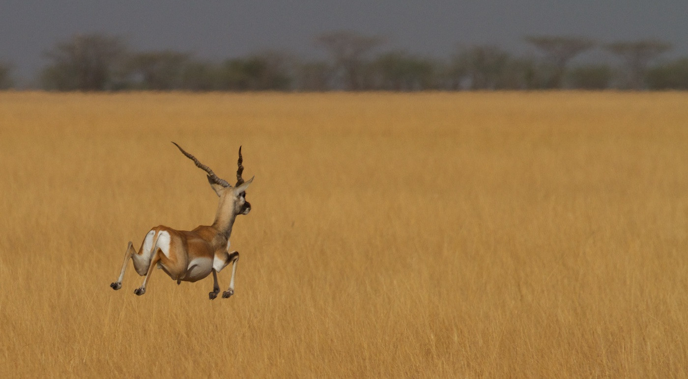 20 BLACKBUCK by Sue Pennicott