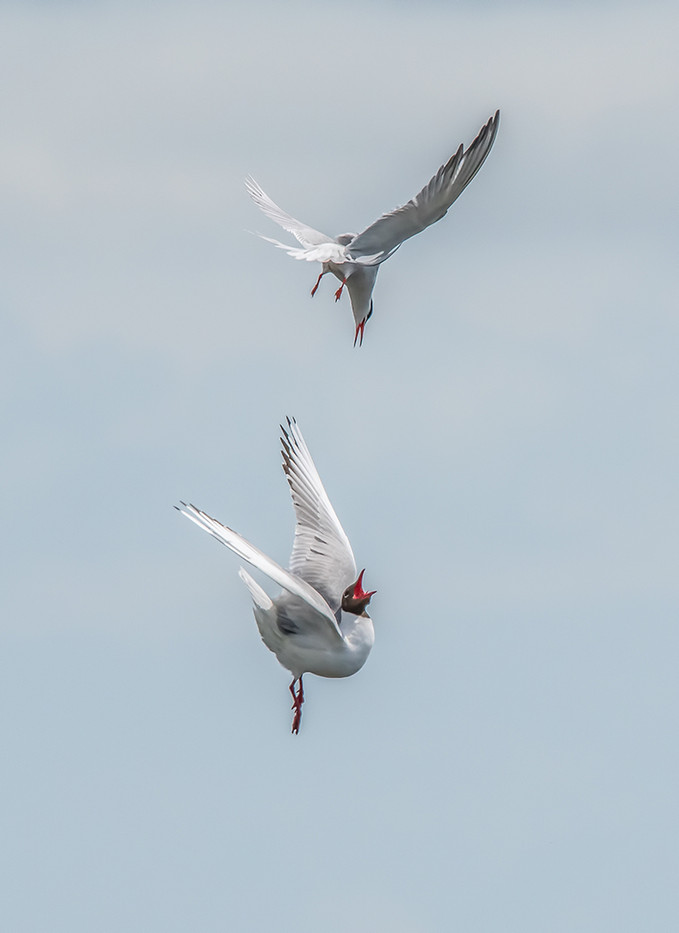 19 COMMON TERN ATTACKING A BLACK HEADED GULL by John Butler