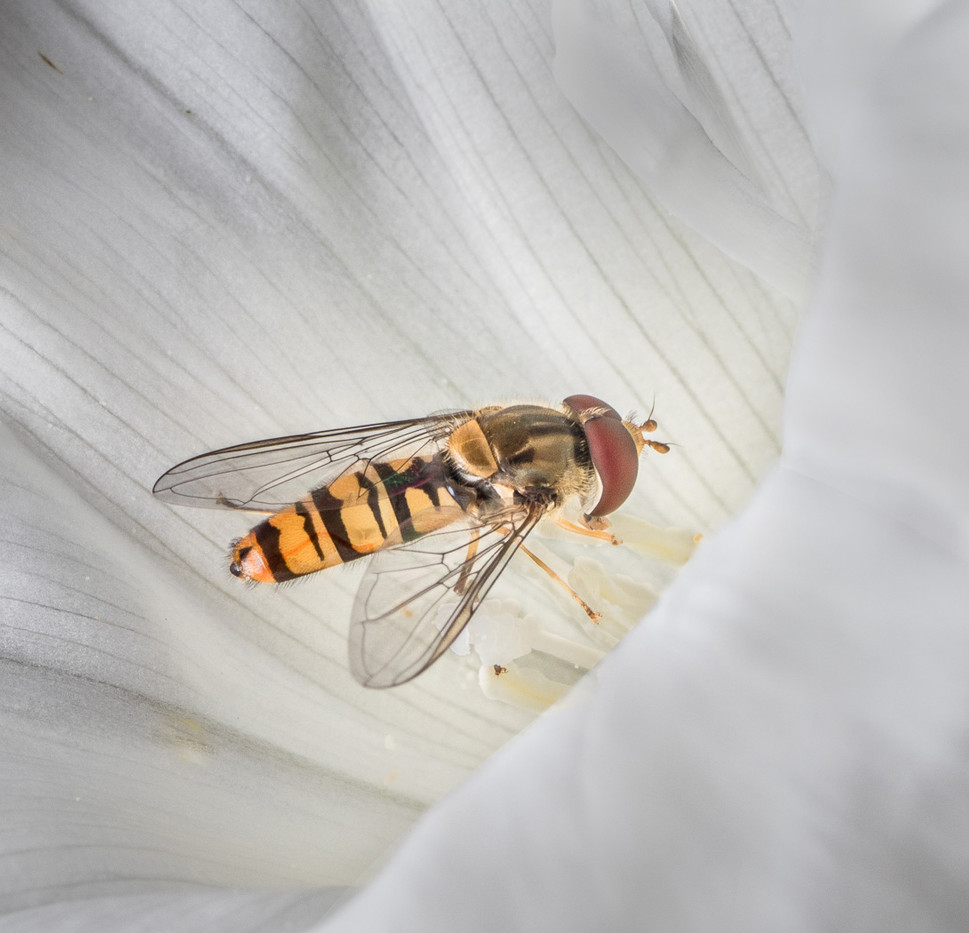 17 HOVERFLY IN BINDWEED FLOWER by Tony Hill