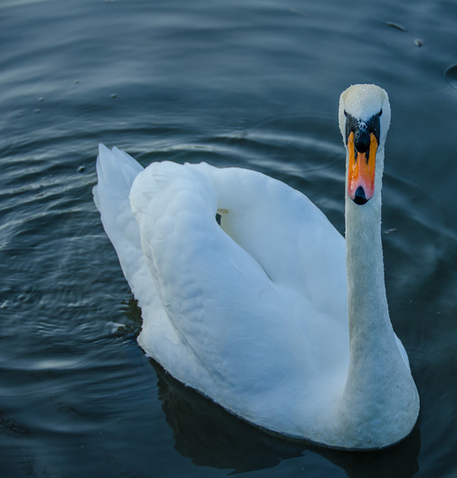 16 SWAN by Terry Day