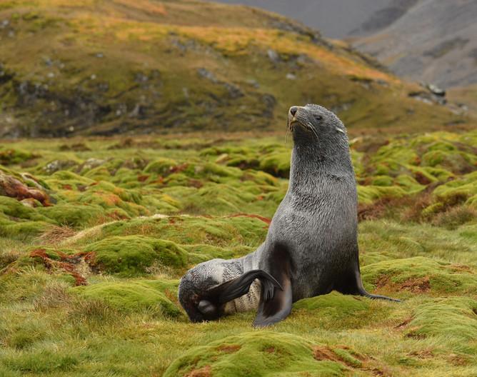 20 ANTARCTIC FUR SEAL by Helen Mossman