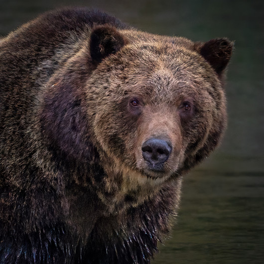 18 A GRIZZLY BEAR PORTRAIT BY THE RIVERBANK by David Godfrey
