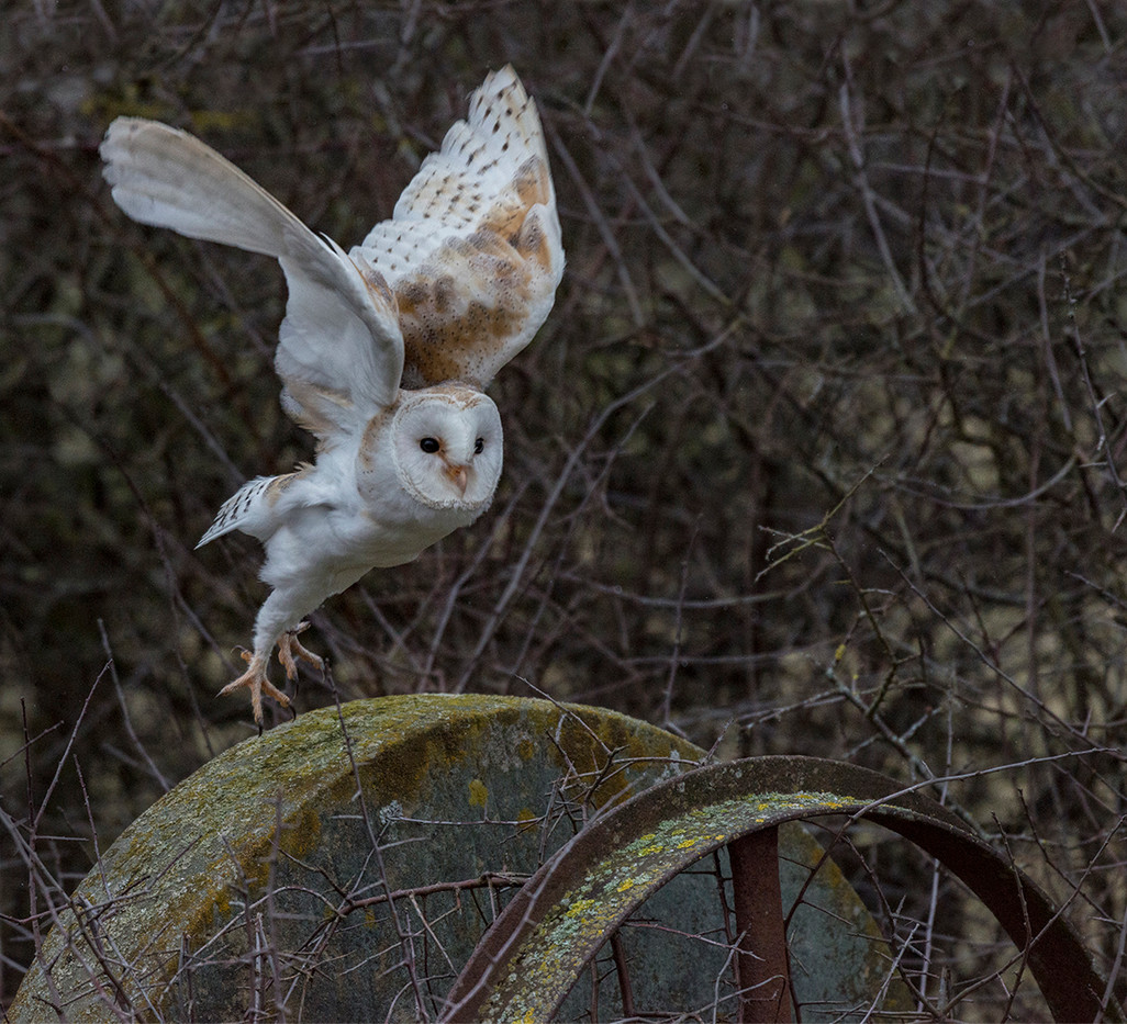 18 BARN OWL OVER THE OLD MILLSTONE by Alan Cork
