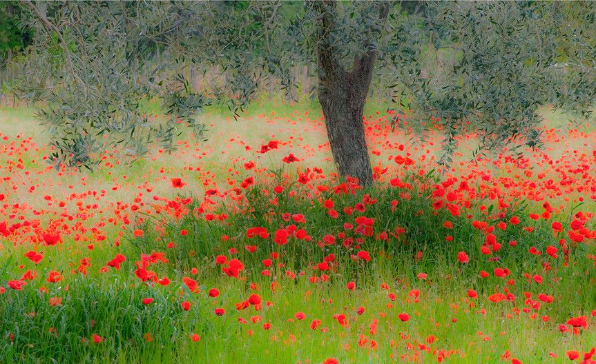 GROUP 1 17 POPPIES IN THE SHADE by Peter Tulloch