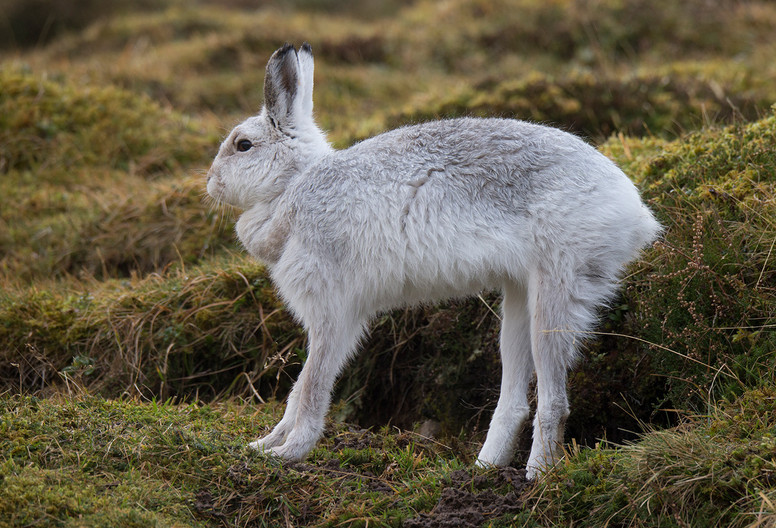 14 MOUNTAIN HARE FIRST STRETCH by John Hunt