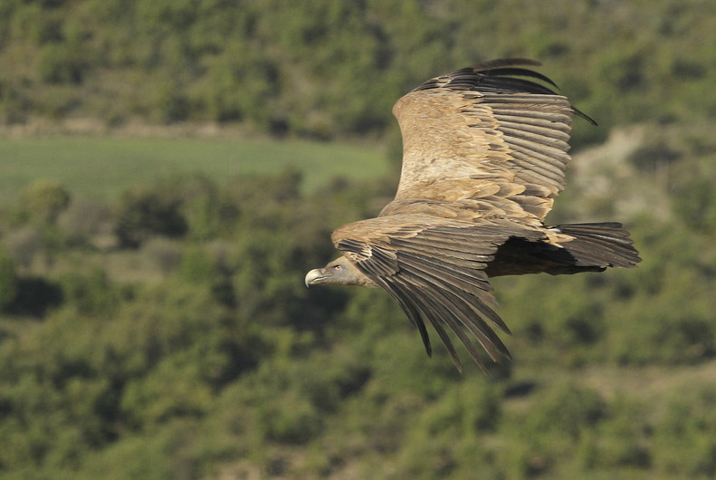16 GRIFFEN VULTURE SCOURING THE LAND by John Hunt