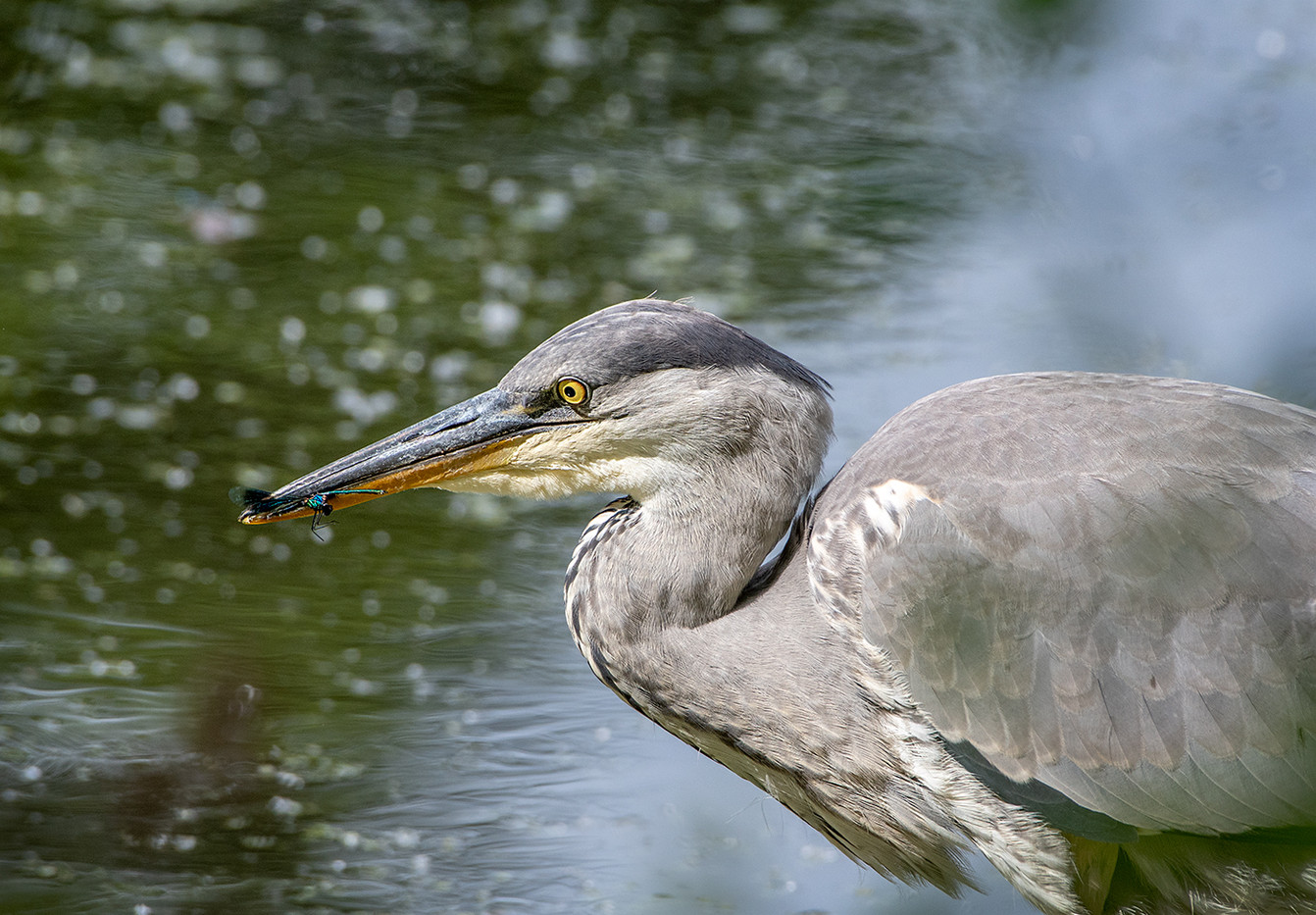 16 JUVENILE GREY HERON WITH DAMSEL FLY by John Butler