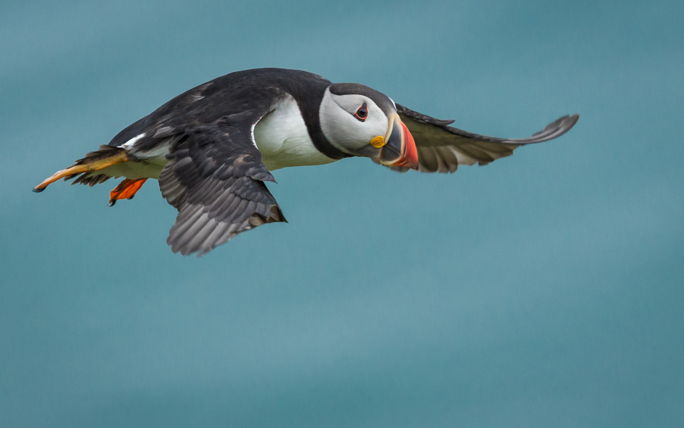 20 A PUFFIN PREPARES FOR LANDING by David Godfrey