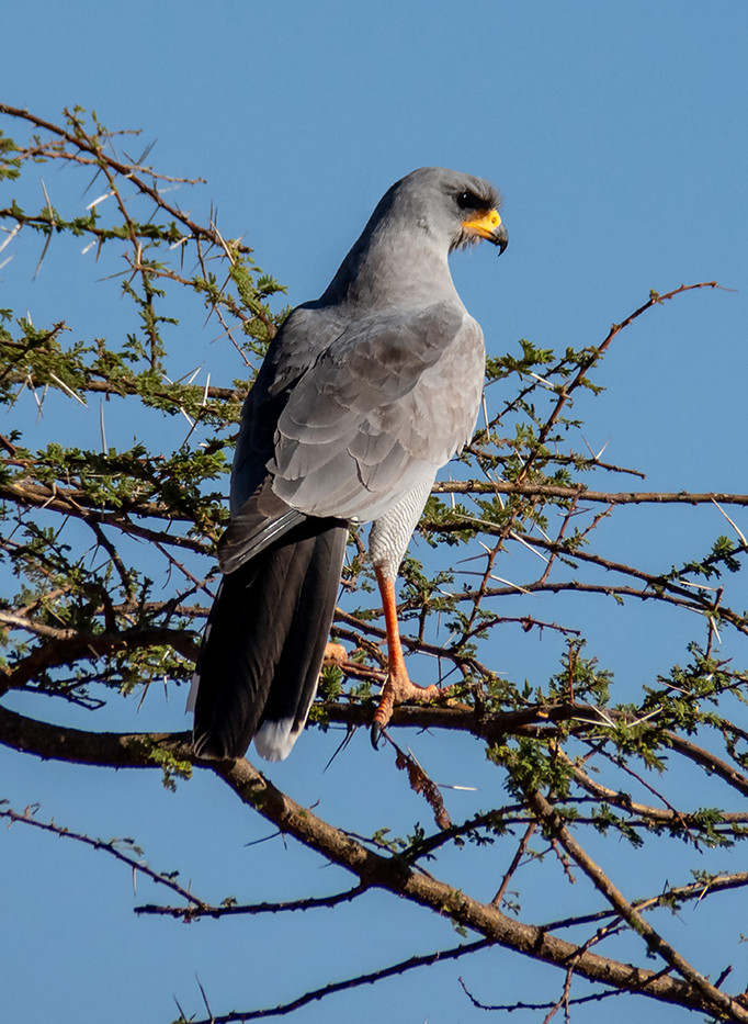 16 (PRINT) PALE CHANTING GOSHAWK  by David Parkinson