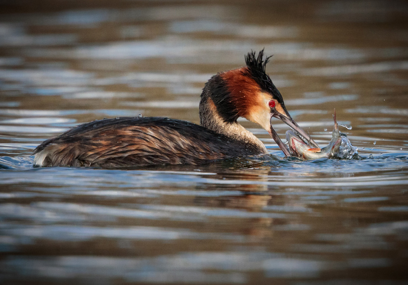 20 A GREAT CRESTED GREBE GRAPPLES WITH ITS CATCH by David Godfrey