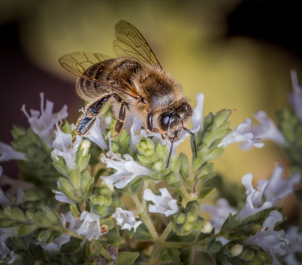 18 HONEY BEE ON OREGANO by Tony Hill