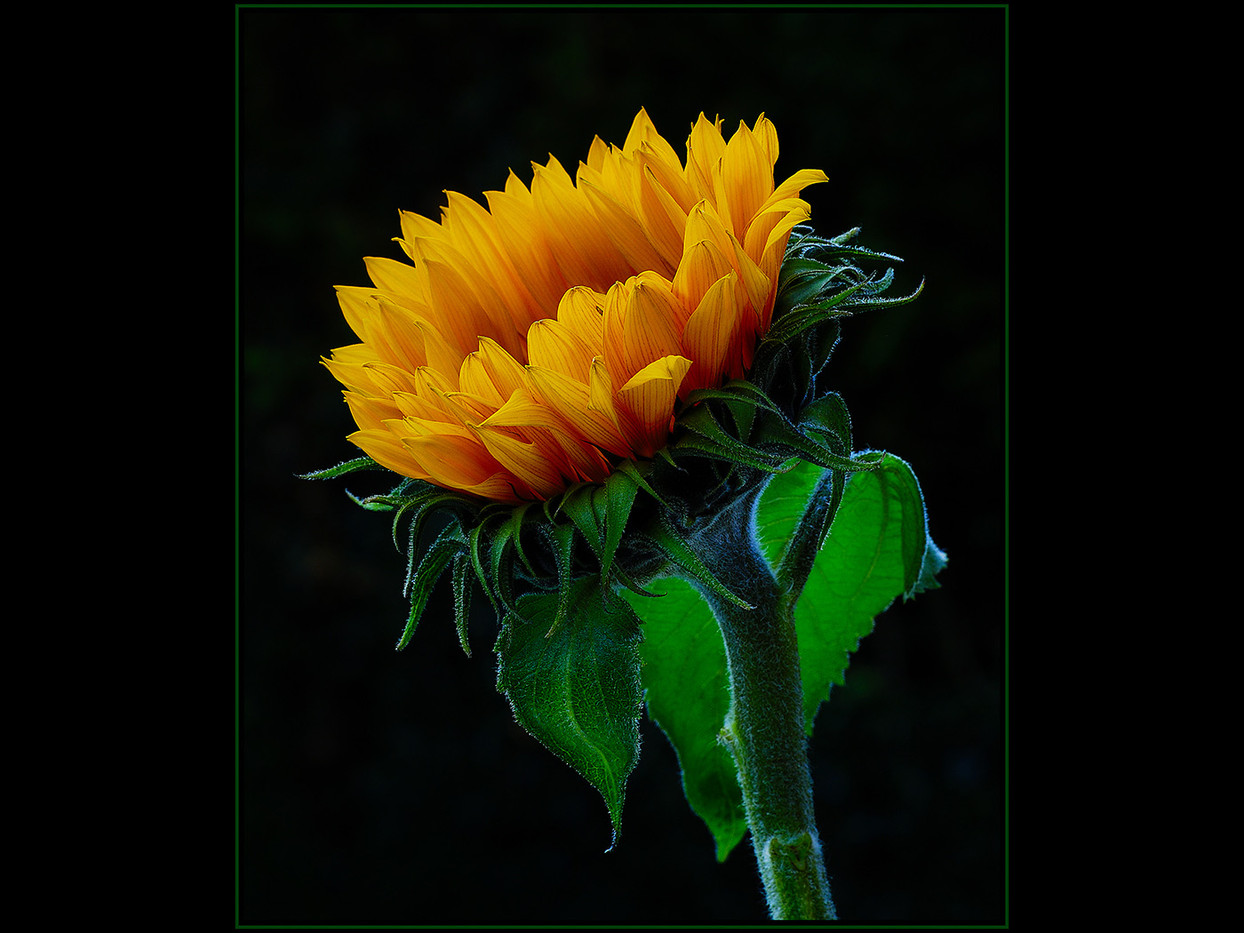 20 SUNFLOWER by Mick Dudley