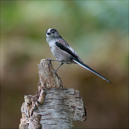 18 LONG-TAILED TIT RESTING by Alan Cork