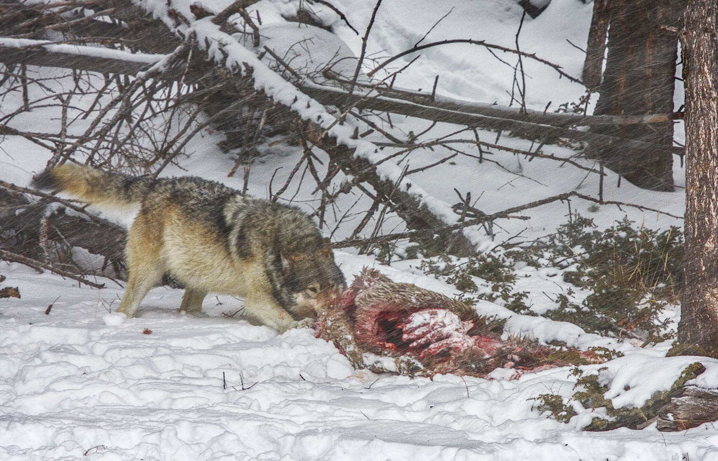 18 WOLF FEEDING IN BLIZZARD by Carole Lewis