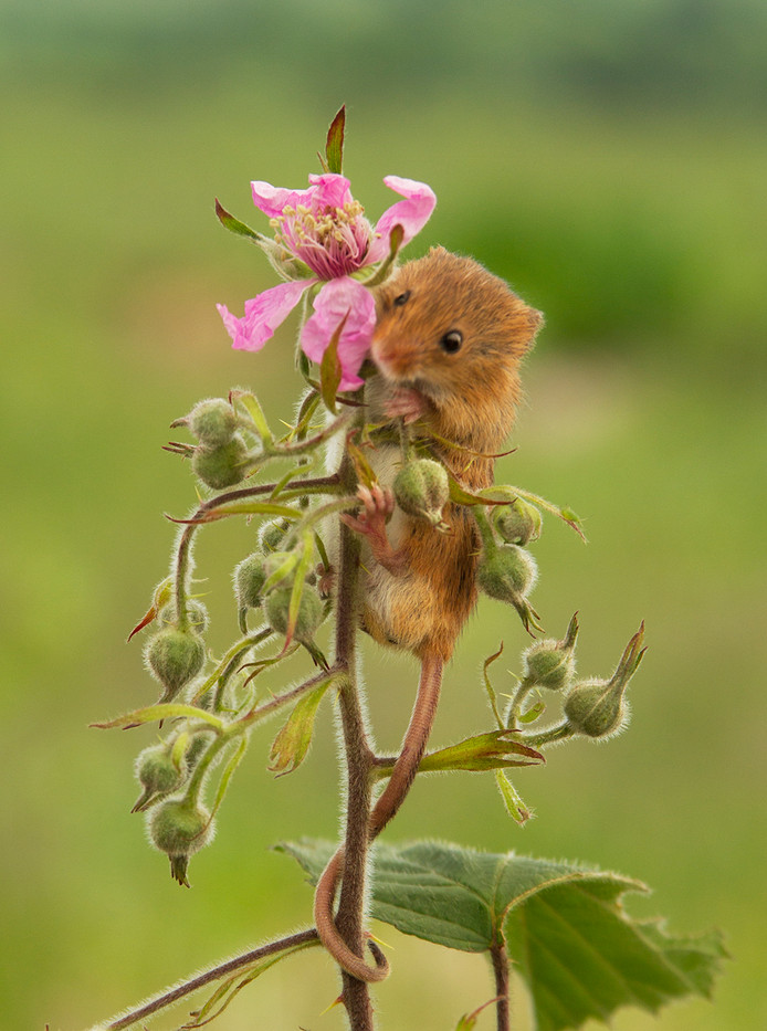 17 HARVEST MOUSE ON BRAMBLE By John Hunt