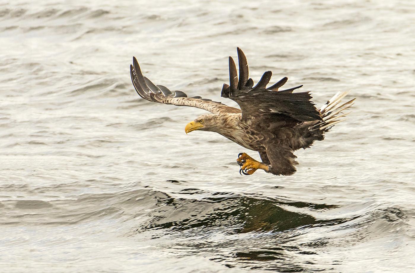 19 WHITE TAILED SEA EAGLE by Glenn Welch
