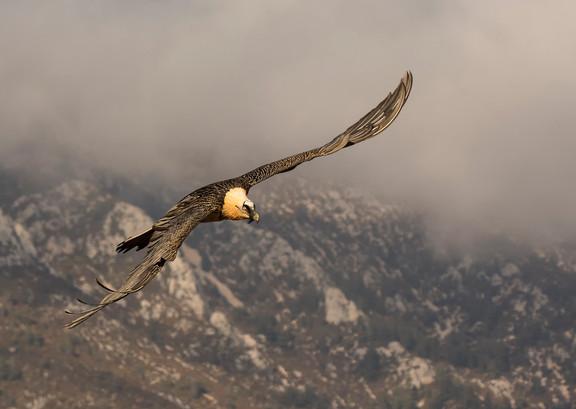 BEARDED VULTURE IN FLIGHT by Glenn Welch