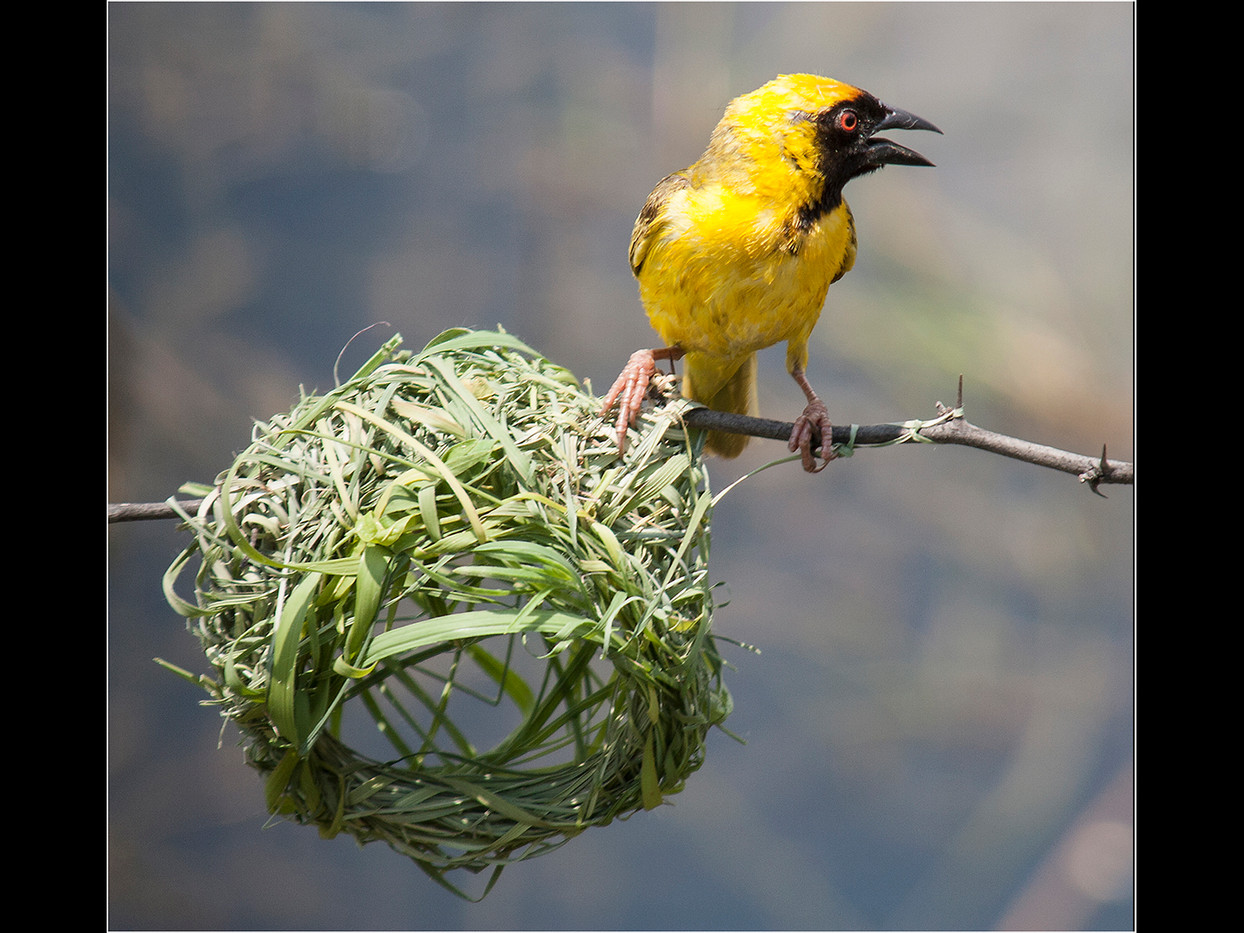 17 WEAVER BIRD BY NEST by Cathie Agates
