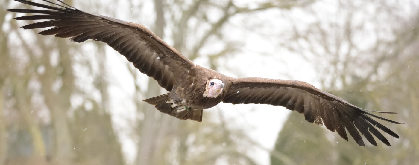 15 VULTURE ON THE PROWL by Ray Crowle